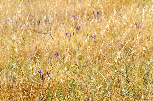 golden grass and purple flowers